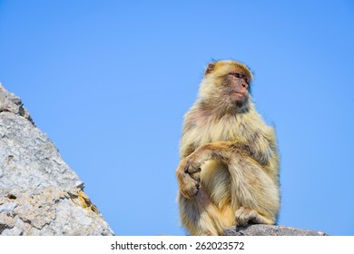 Gibraltar Macaques sitting on a rock and watching around/Gibraltar Macaque/ Gibraltar, Europe
