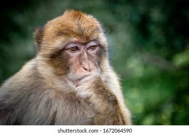 Gibraltar monkey portrait.