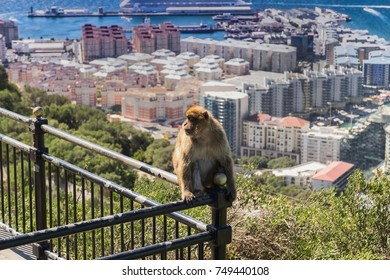 Gibraltar, monkey rock, a berber monkey sitting on a railing, behind it the sea gorge of Gibraltar with airport. UK
