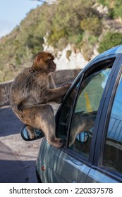 Gibraltar Monkeys or Barbary Macaques  tourist attraction at the Monkey's Den on the Rock of Gibraltar