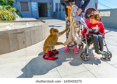 Gibraltar, United Kingdom - April 24, 2016: the wild monkeys in Upper Rock Nature Reserve, stealing food and clothes from tourists and children. Gibraltar Rock terrace.