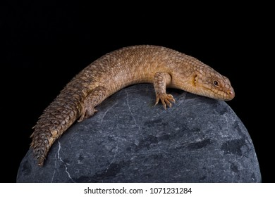 The Gidgee Spiny-tailed Skink (Egernia stokesii) is found in Australia. They prefer rocky outcrops.