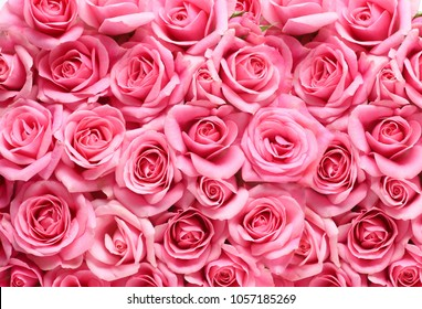 gift of pink rose on pink background