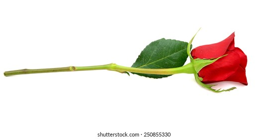 A gift red rose branch