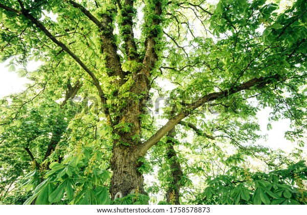 Gigantic chestnut tree in the forest
