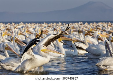 Gigantic flock of American White Pelicans swimming in formation on a lake in the wilderness