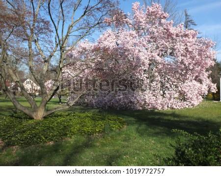 Gigantic Magnolia Tree Full Bloom Spring Stock Photo Edit Now