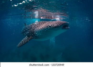 Gigantic whale shark (Rhincodon typus) feeding near surface
