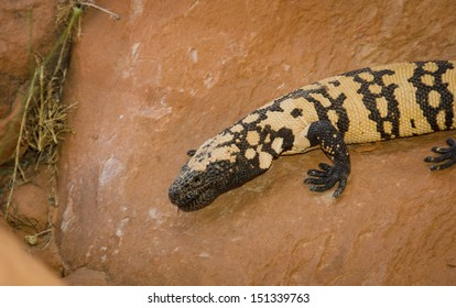 A Gila Monster, Heloderma Suspectum, crawls in Valley of Fire State Park near Las Vegas, Nevada.  This species of venomous lizard is native to the southwestern US and the Mexican state of Sonora.