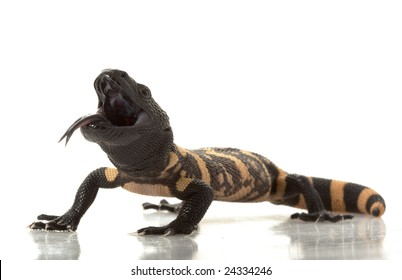 Gila Monster (Heloderma suspectum) isolated on white background.
