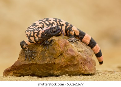 Gila monster (Heloderma suspectum is a species of venomous lizard native to the southwestern United States and northwestern Mexican state of Sonora. A heavy, typically slow-moving lizard.