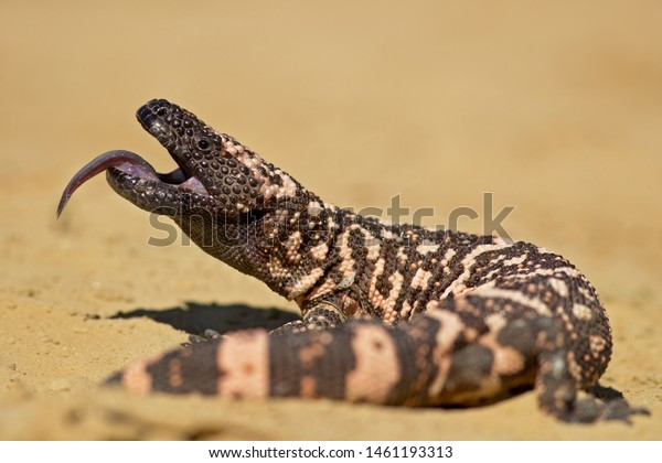 Gila monster (Heloderma suspectum) is a species of venomous lizard native to the southwestern United States and northwestern Mexican state of Sonora.