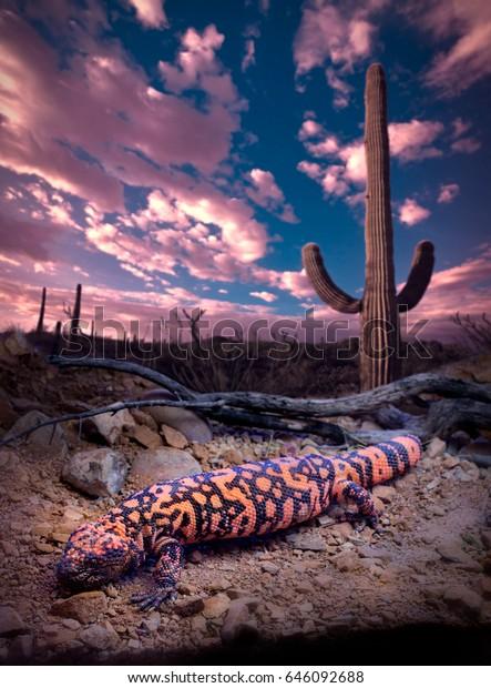 Gila Monster Lizard with Saguaro at Sundown