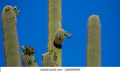Gila Woodpecker atop a giant cactus