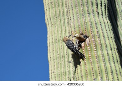 Gila woodpecker breeding pair taking turns at feeding young in saguaro cactus