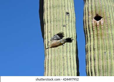 Gila woodpecker leaving nest in a Saguaro Cactus in Saguaro National Park, Tucson, Arizona, USA