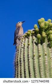 Gila Woodpecker (Melanerpes uropygialis), Female on Saguaro cactus (Carnegiea gigantea), Saguaro National Park, Sonora Desert, Arizona, Tucson, USA.