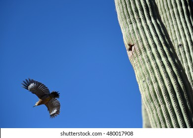 Gila woodpecker (Melanerpes uropygialis) flying away from Saguaro Cactus with nest