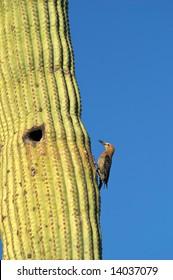 Gila Woodpecker on Saguaro.