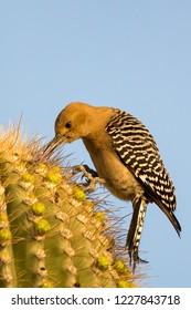 gila woodpecker pecking for food on a saguaro
