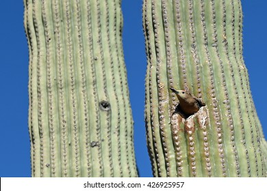 Gila woodpecker peeking out of its nest in a Saguaro cactus