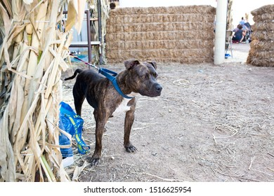 Gilbert, Arizona/USA - September 27, 2019: Pitbull waiting to be adopted at Lovepup pet adoption event