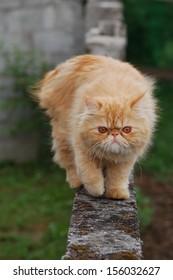 Gilbi persian cat