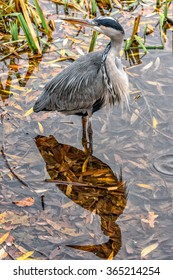 Gillingham, United Kingdom - November 1st, 2015: Grey heron and its shadow on water surface in Capstone farm country park, Kent