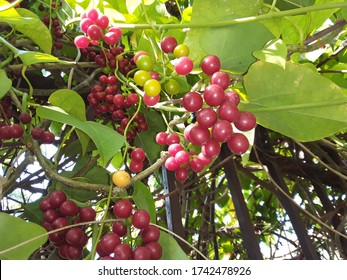 Giloy (English: Tinospora cardifolia) has a multivariate vine.  Its leaves are like betel leaves.  It is known by many names in Ayurveda, such as Amrita, Guduchi, Fruits also grow in bunches and are