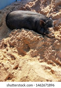 Gilt basks in the sun in the sand. - Shutterstock ID 1462671896