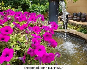 Gimhae, Korea - June 20 2018: Morning glory flowers and runnig water