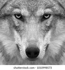 Gimlet look straight into your soul of severe wolf female. Menacing expression of the young european wolf, very beautiful animal and extremely dangerous beast. Black and white square image.