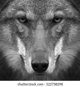 Gimlet look straight into your soul of severe wolf female. Menacing expression of young, two year old, european wolf, very beautiful animal and extremely dangerous beast. Black and white image.