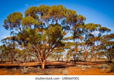 Gimlet Trees Eucalyptus Salubris. Rows of gimlets in red soil and blue sky. Shiny and smooth copper colored bark, The fluted corkscrew stems resemble a carpenter's gimlet. Western Australian Arboretum