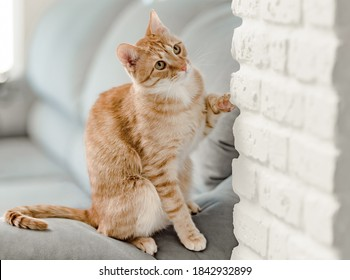 Gin ger tabby cat is trying to catch something