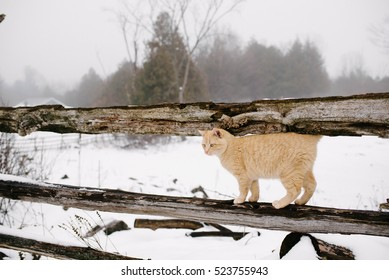 Ginger barn cat on snowy fence