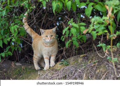 ginger beautiful young red cat lurking in the bushes watching something peeps out looking at the camera with yellow eyes on a dry grass outdoors in nature