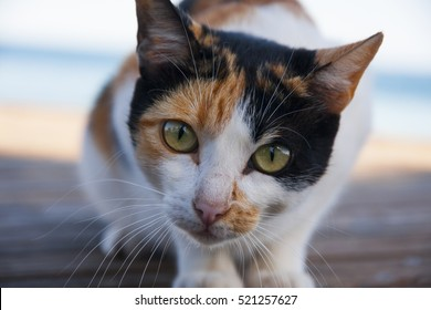 Ginger, black and white pinto cat with green eyes looking at you