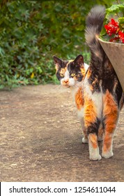 A ginger, black and white tabby cat turns to look at the camera. Her tail is up as she rubs herself against an nearby plant pot and fixes her glare at the photographer. There is copy space