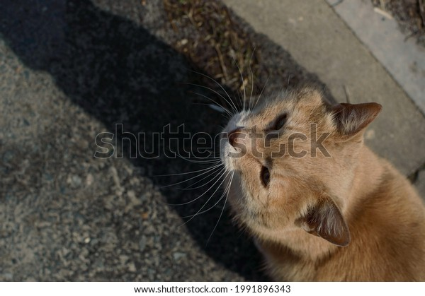 ginger-cat-asks-be-petted-600w-199189634