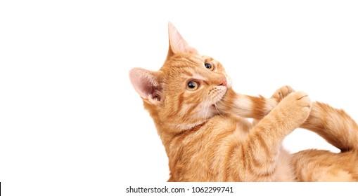 El gato jengibre mordiendo su cola. En blanco con espacio vacío.