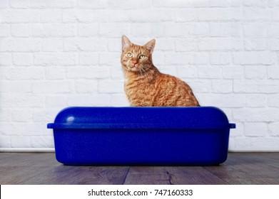 Ginger cat in blue plastic litter box