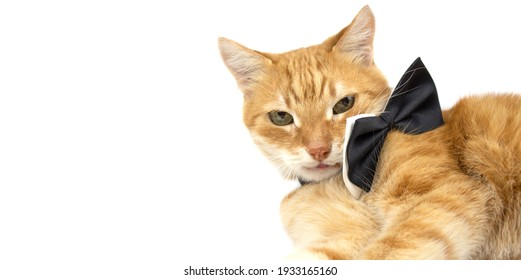 Ginger cat. Ginger cat with bow tie on white isolated background. Banner. Copy space