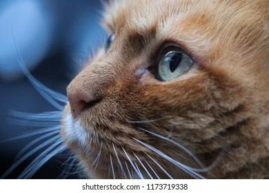 Ginger cat close up