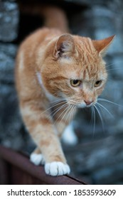 Ginger cat coming out of stone barn walking along a metal gate.