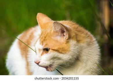ginger cat eats green grass