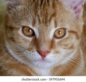 Ginger cat face, front view