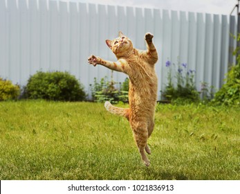 Ginger cat in jumping on green grass or dancing cat