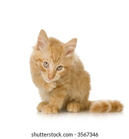 Ginger Cat kitten Washing himself in front of a white background
