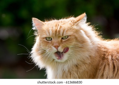 Ginger cat licks.